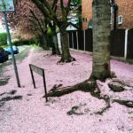 The Cherry Blossoms are taking over Urmston today <3